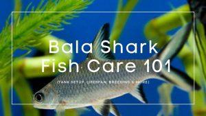 Bala-Shark-care-guide