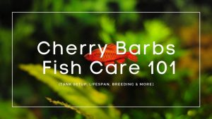 Cherry-Barbs-care-guide