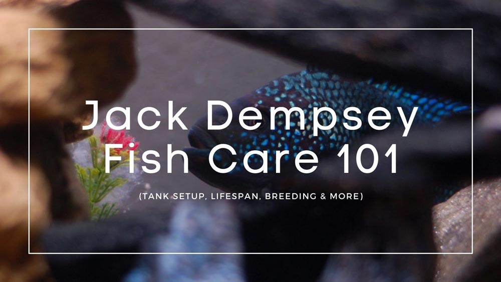 Jack-Dempsey-Fish care