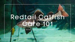 Redtail-Catfish-Care