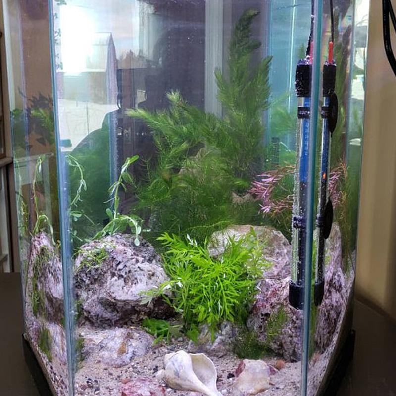 Water-Wisteria-Stem-Plant