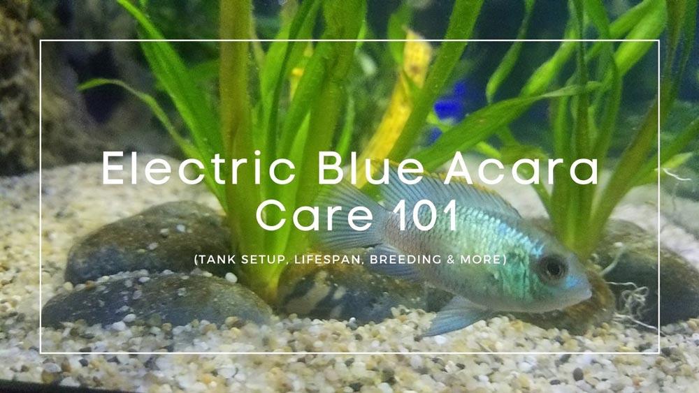 Electric-Blue-Acara-Care