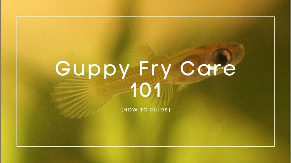 Guppy-Fry-Care