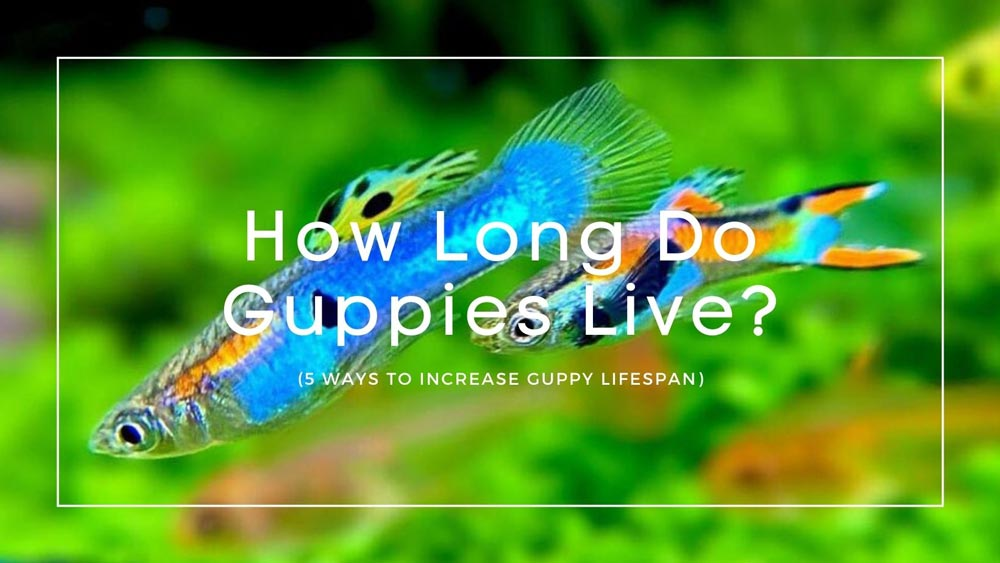 How-Long-Do-Guppies-Live