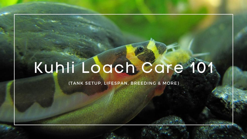 Kuhli-Loach-care