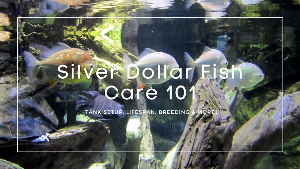 Silver dollar fish care