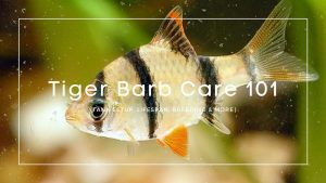 Tiger-Barb-care