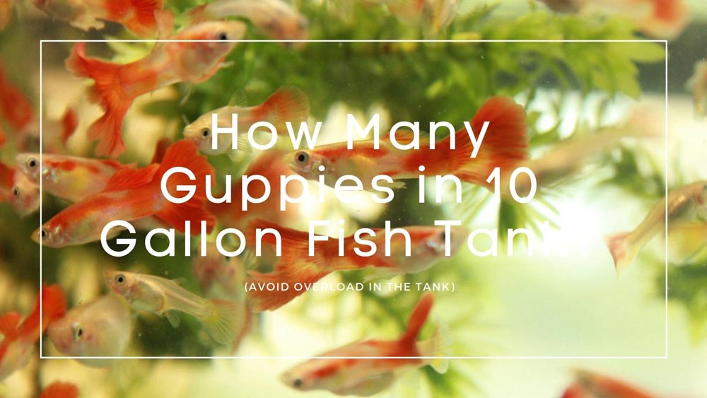 How-Many-Guppies-in-10-Gallon-Fish-Tank