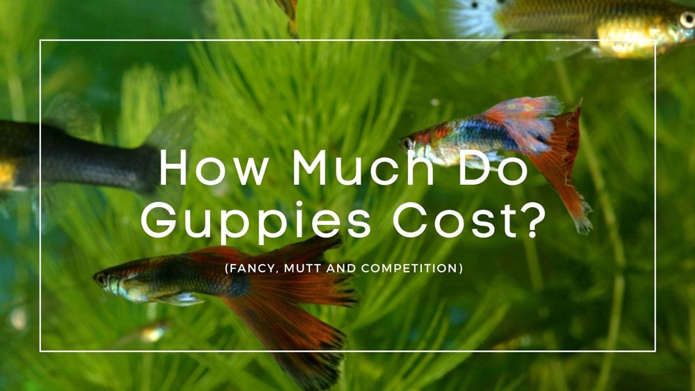How-Much-Do-Guppies-Cost