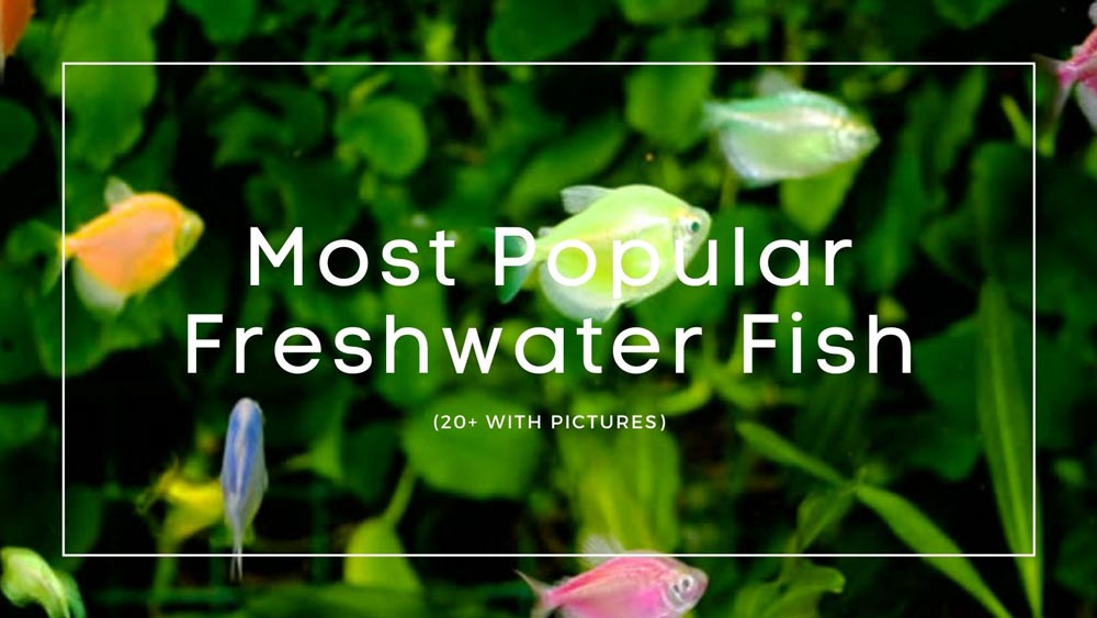 Most Popular Freshwater Fish