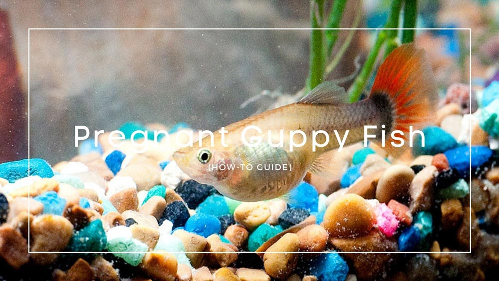 Pregnant-Guppy-Fish