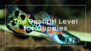 pH-Level-for-Guppies