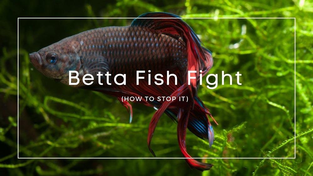 Betta Fish Fight
