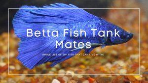 Betta-Fish-Tank-Mates