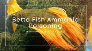 Betta Fish Ammonia Poisoning