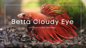 Betta Cloudy Eye