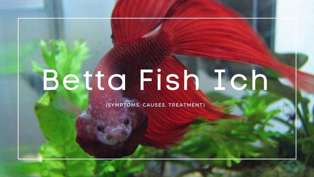 Betta Fish Ich