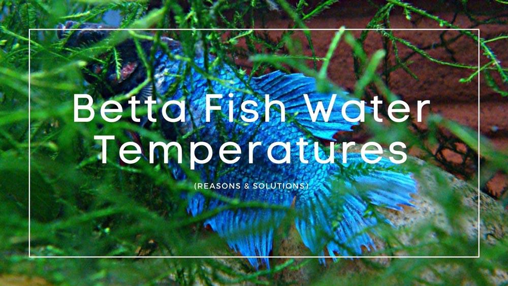 Betta Fish Water Temperatures