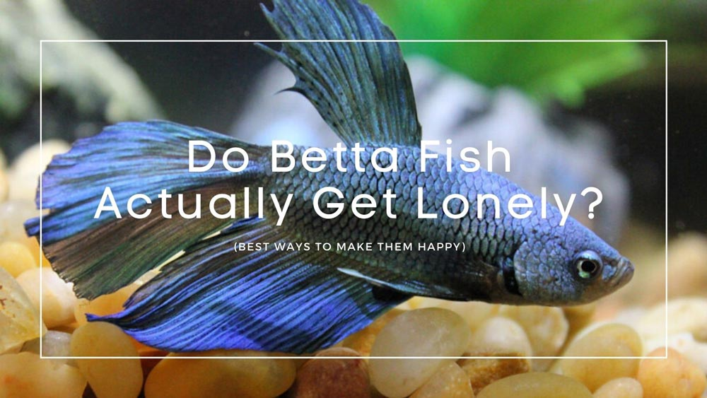 Do Betta Fish Get Lonely