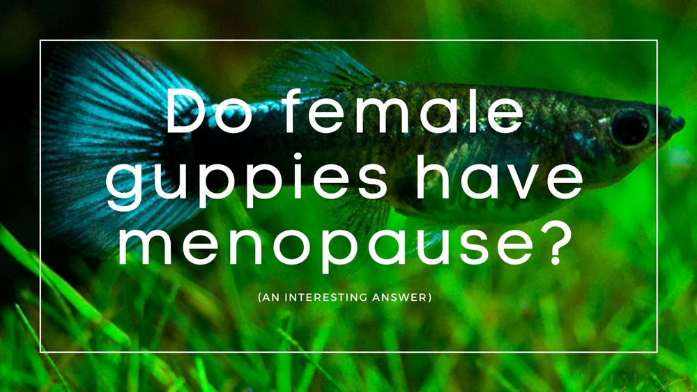 Do guppies have menopause