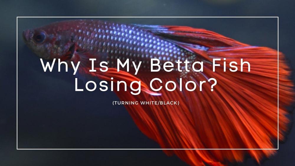 Betta Fish Losing Color