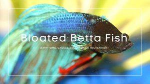 Bloated Betta Fish