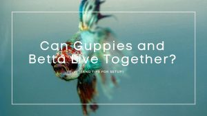 Can Guppies and Betta Live Together