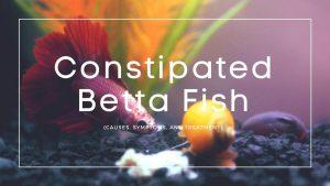 Constipated Betta Fish