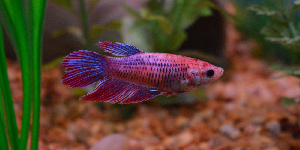 Female Veiltail Betta