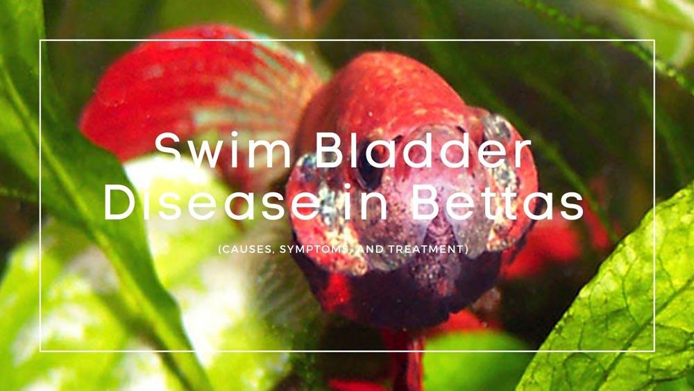 Swim Bladder Disease in Bettas