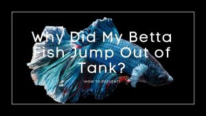 Betta fish Jump Out of Tank