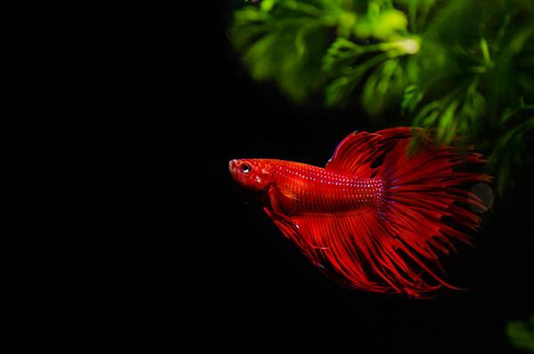 Red Bettas