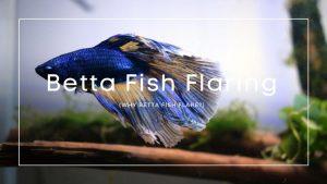 Betta Fish Flaring