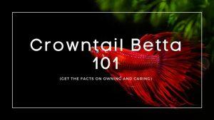 Crowntail Betta