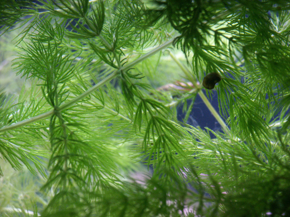 Hornwort for betta fish tank
