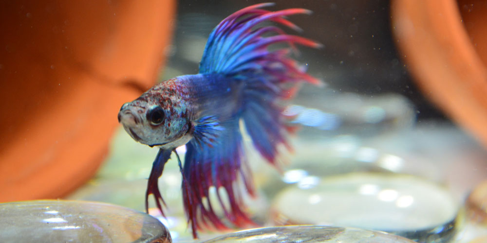 beauty-Crowntail-Betta