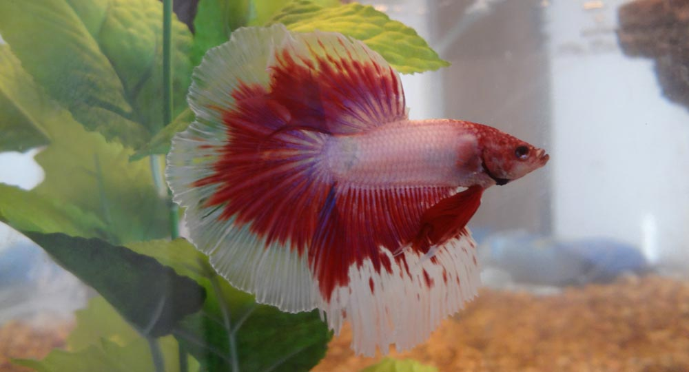 is flaring bad for bettas