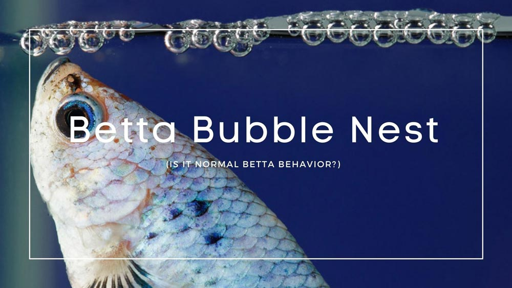 Betta Bubble Nest