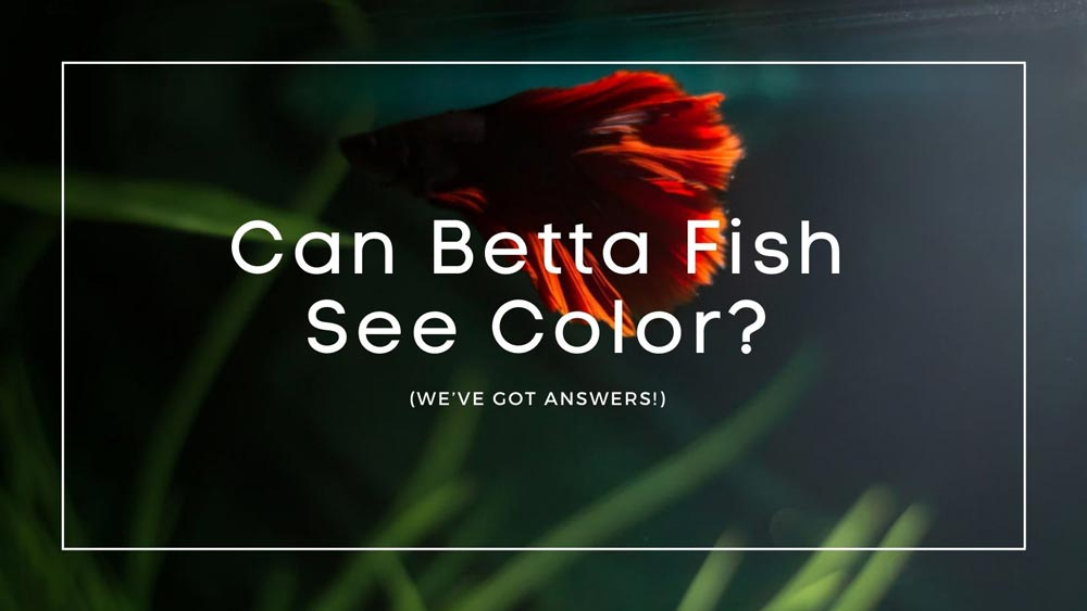 Can Betta Fish See Color