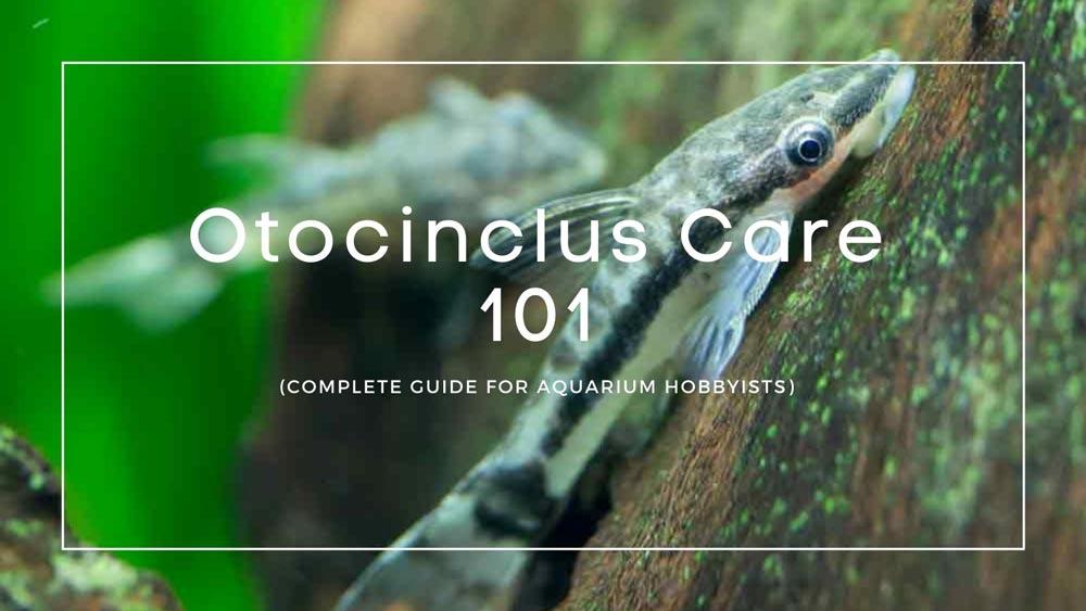 Otocinclus Care