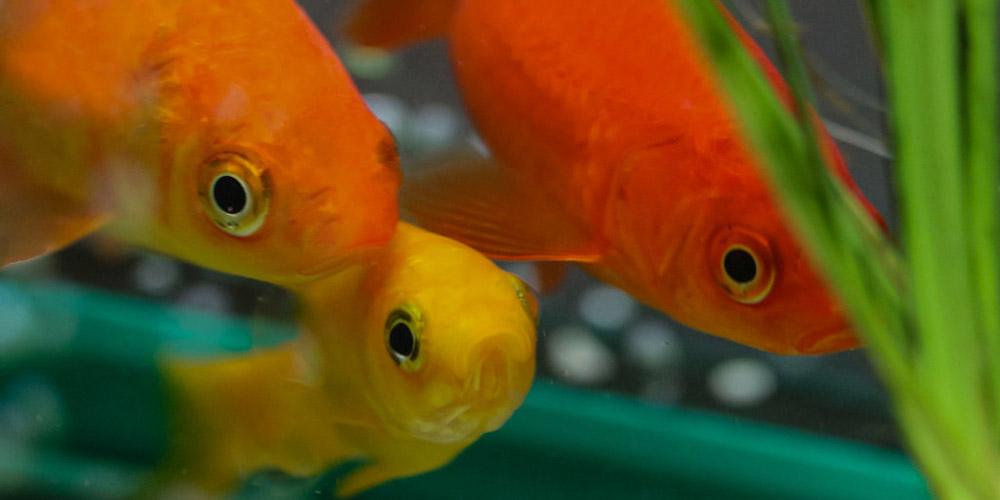 Breed-Goldfish