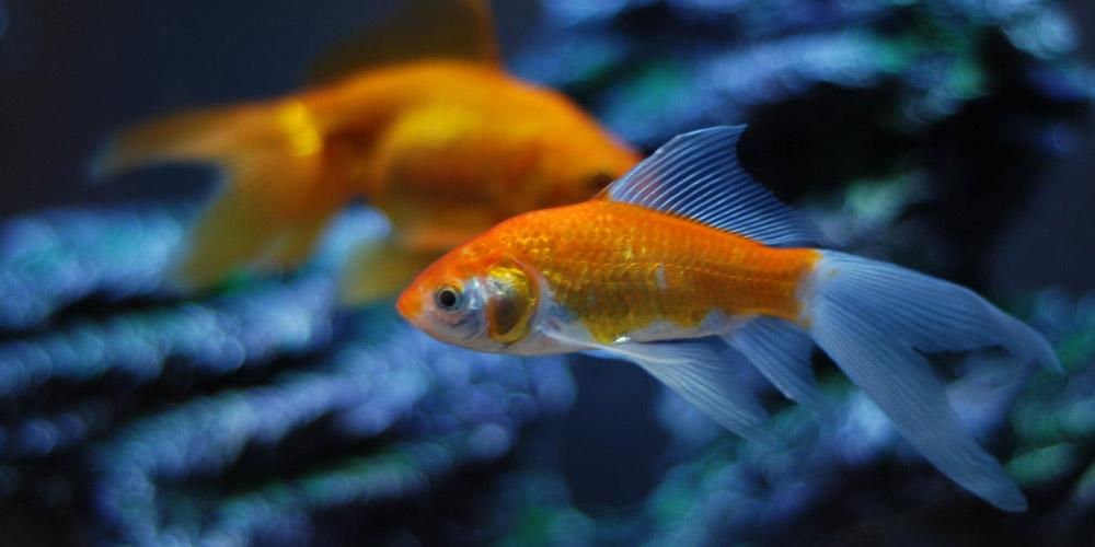 Comets Goldfish