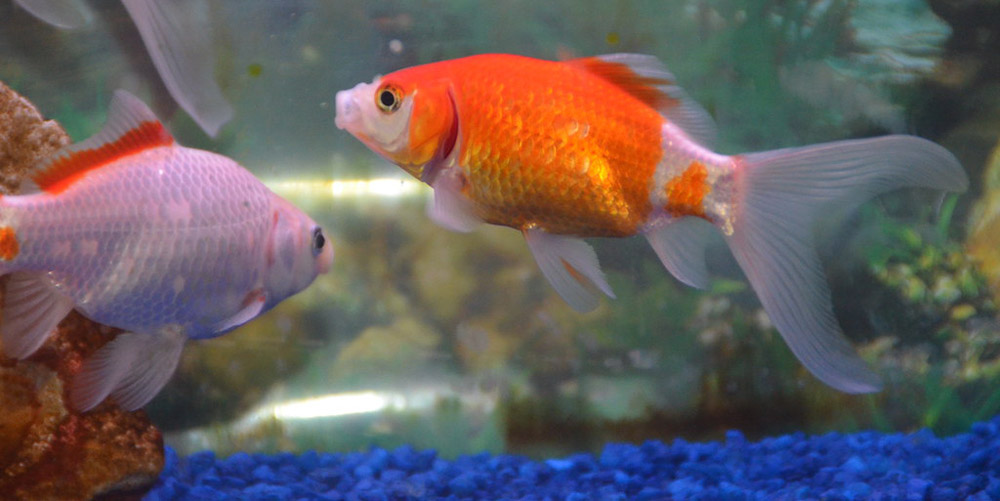 The Benefits Of Owning Goldfish