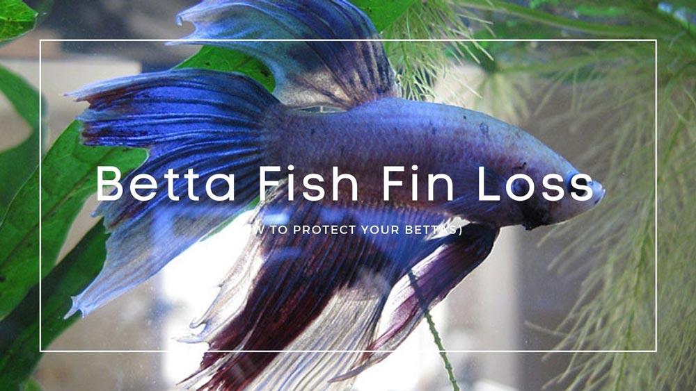 Betta Fish Fin Loss