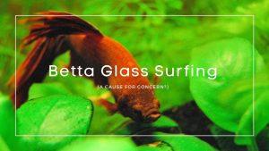 Betta Glass Surfing
