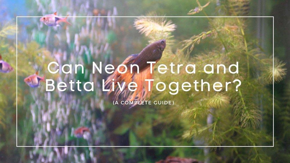 Neon Tetra and Betta