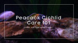Peacock Cichlid Care