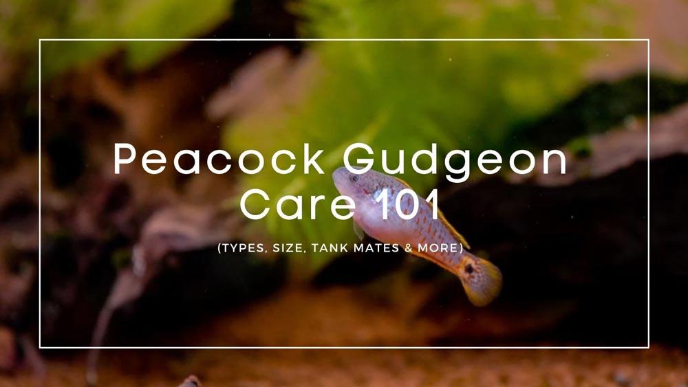 Peacock Gudgeon Care