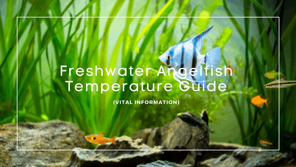 Angelfish Temperature