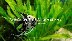 Are Angelfish Aggressive